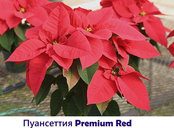 Пуансеттия Premium Red