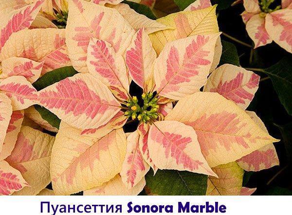 Пуансеттия Sonora Marble