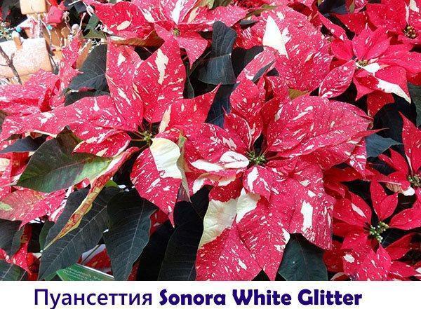 Пуансеттия Sonora White Glitter