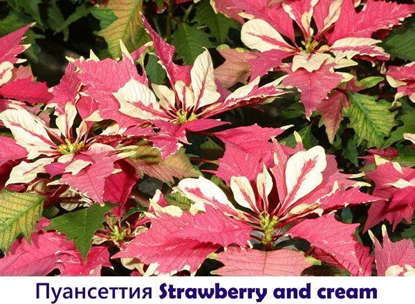Пуансеттия Strawberry and cream
