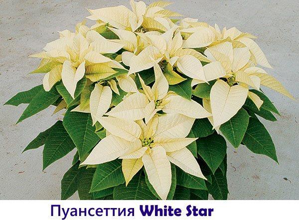 Пуансеттия White Star