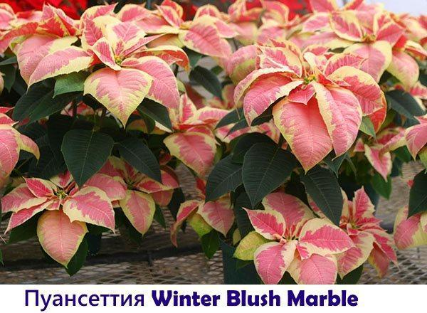 Пуансеттия Winter Blush Marble