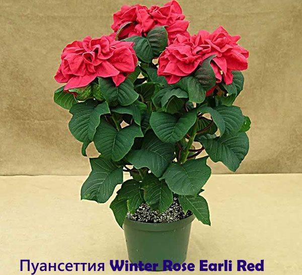 Пуансеттия Winter Rose Early Red