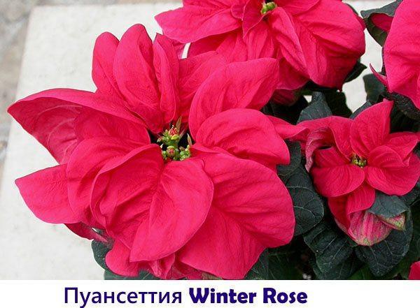 Пуансеттия Winter Rose