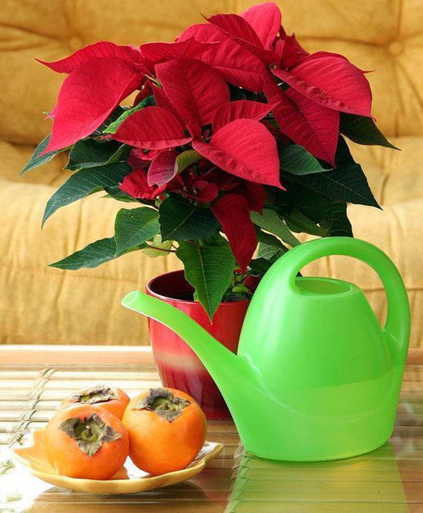 Пуансетия цветок в доме как ухаживать картинка