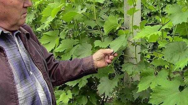 работа на винограднике после цветения