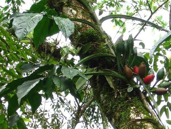 Растение Syngonium macrophyllum в природе