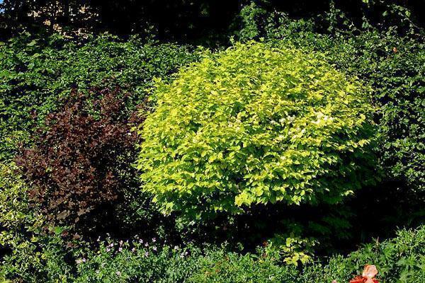 растения с желтой листвой в саду