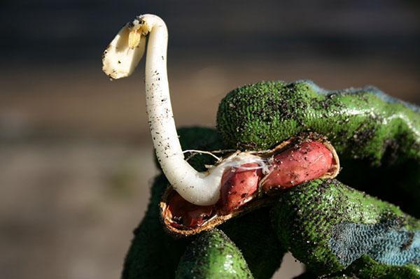 выращивание арахиса в России