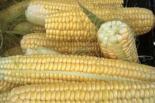кукуруза сорта добрыня