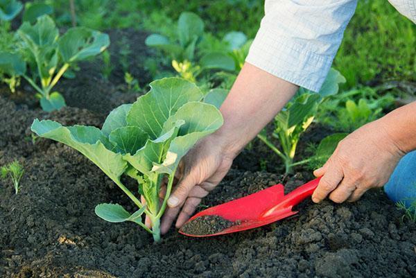 внесение удобрений для рассады капусты