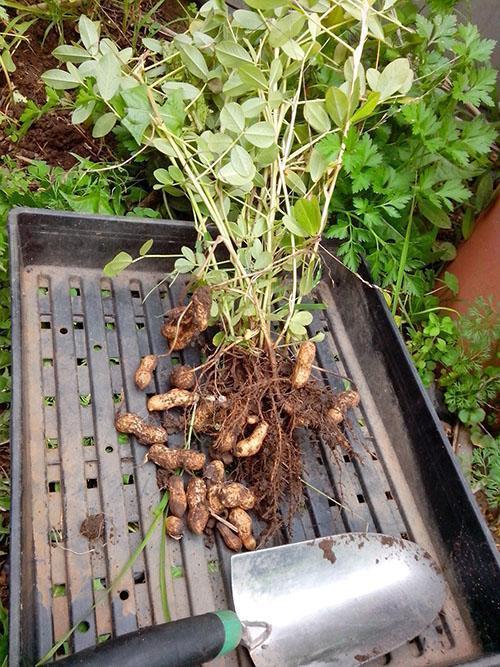 выкапываем арахис