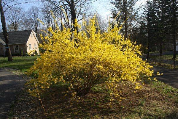 желтый куст в саду
