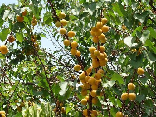 Жердела и абрикос в чем разница что такое как называется