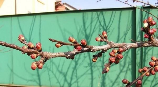 просыпается абрикос