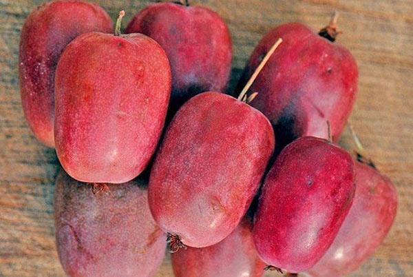 актинидия аргута пурпурна садова
