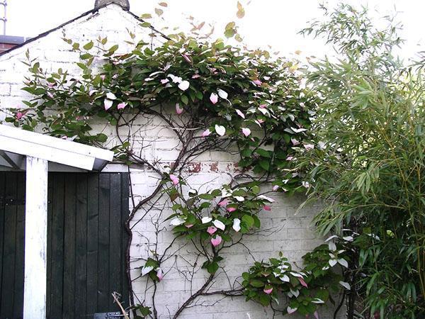актинидия возле стены дома