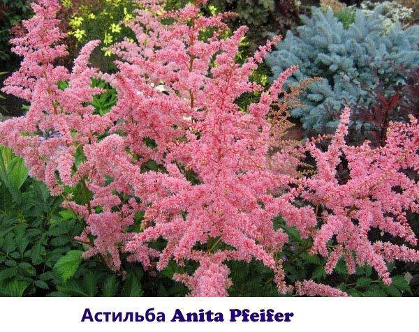Астильба Anita Pfeifer