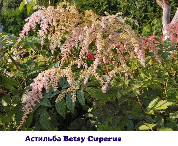 Сорт астильбы Betsy Cuperus