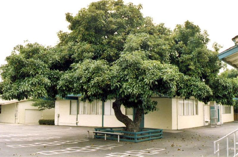 авокадо это дерево