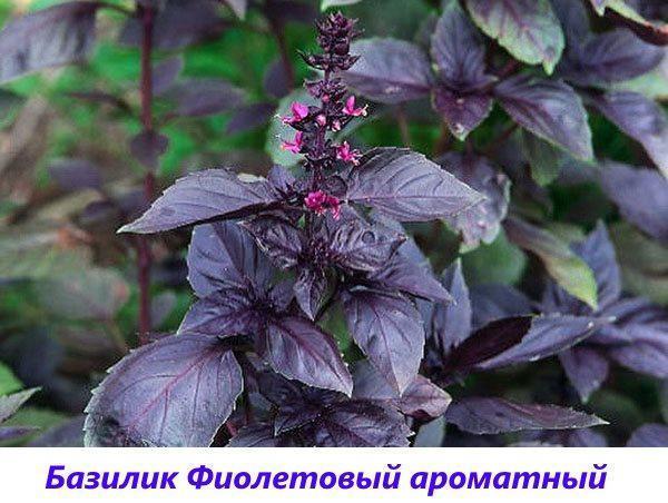 базилик фиолетовый ароматный