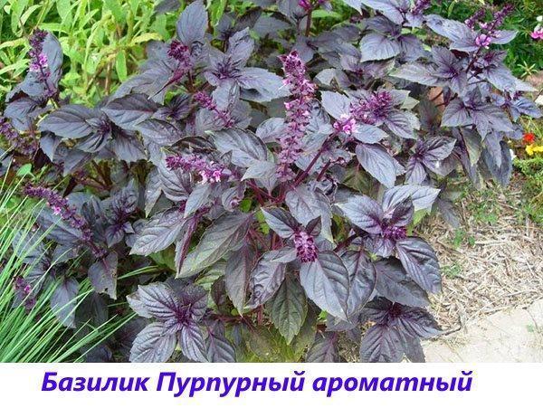 базилик пурпурный ароматный