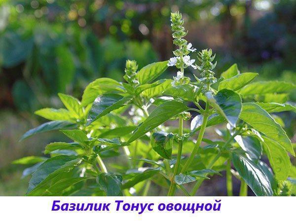 базилик тонус овощной
