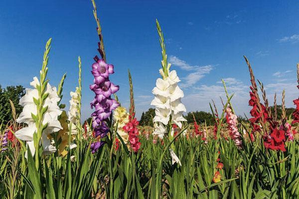 цветение садовых гладиолусов