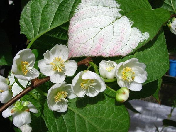 цветет актинидия