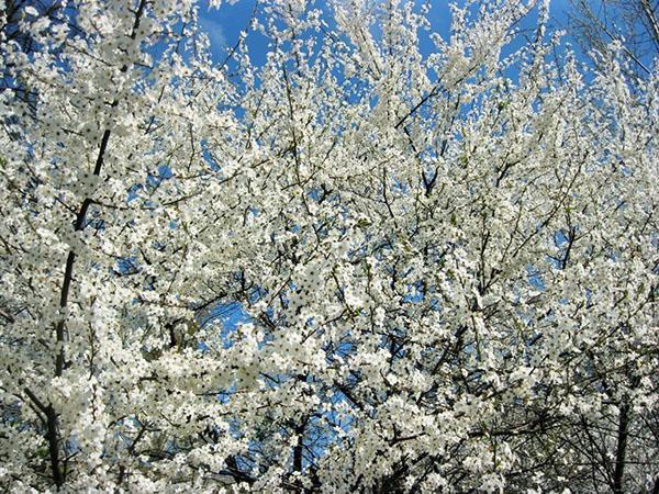 цветет алыча