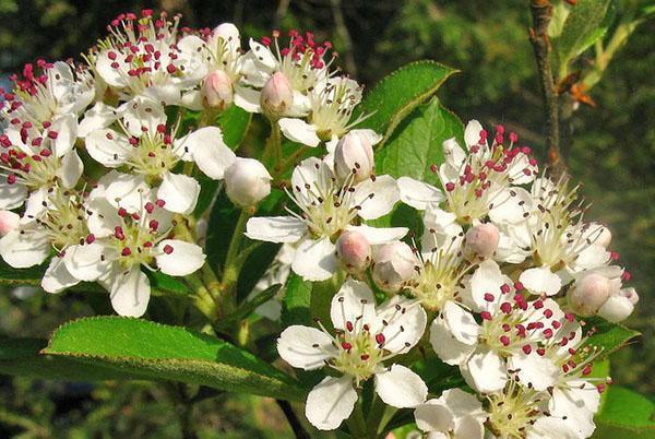 цветет арония черноплодная