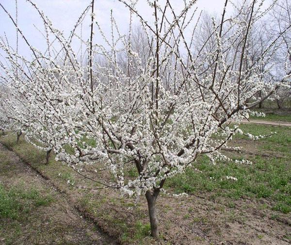 цветут деревья алычи