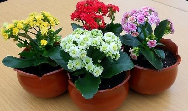 цветут каланхоэ