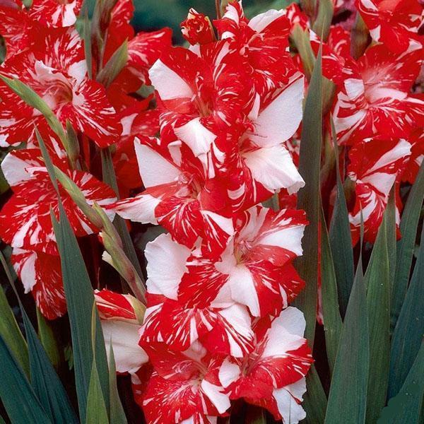 цветут разрезанные луковицы