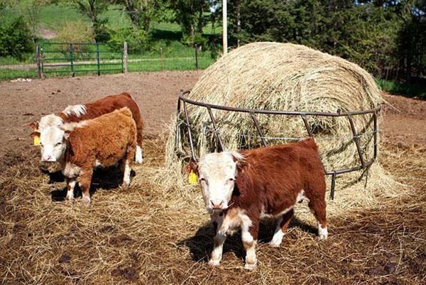 фермерство маленьких коров