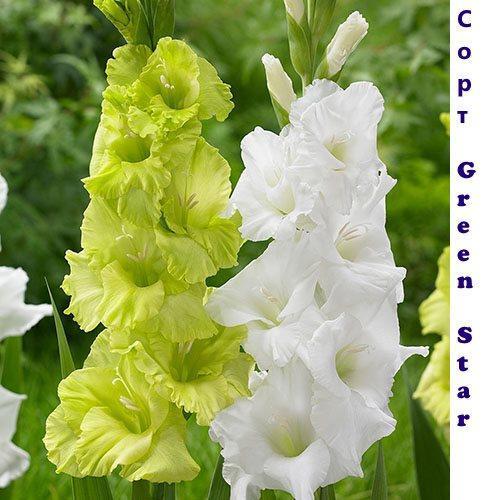 Гладиолус Green Star и сорт с белым цветами