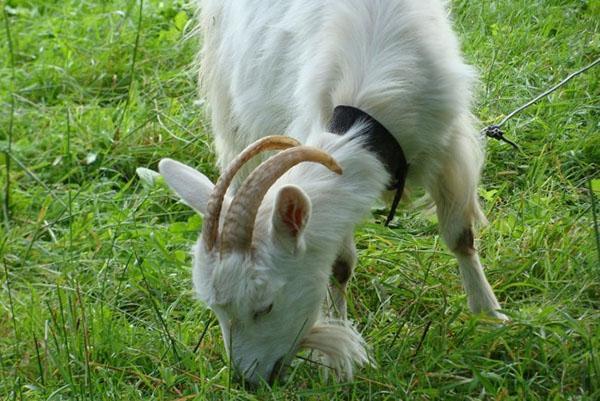коза на пастбище