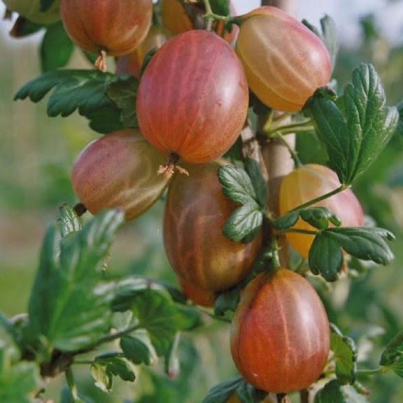 крупные плоды крыжовника