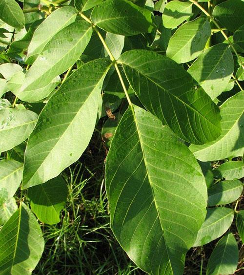 листья грецкого ореха для приготовления настоев и отваров