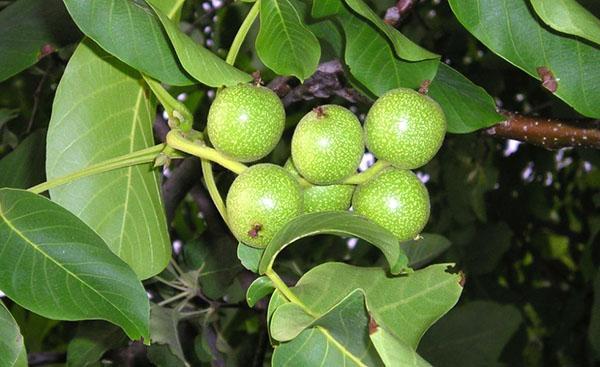 листья грецкого ореха против разных грибков