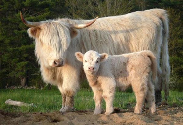 мини корова с теленком