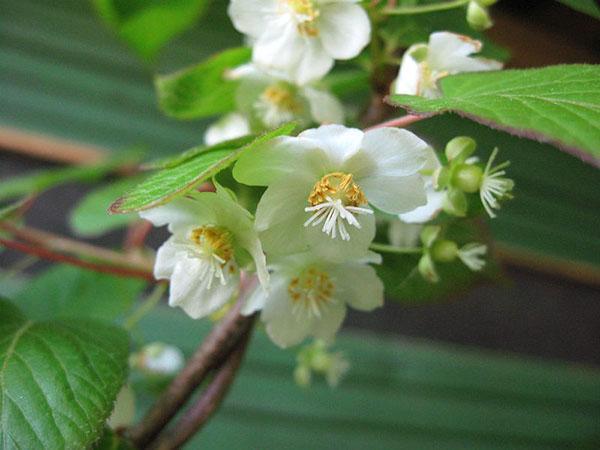 нежное цветение актинидии