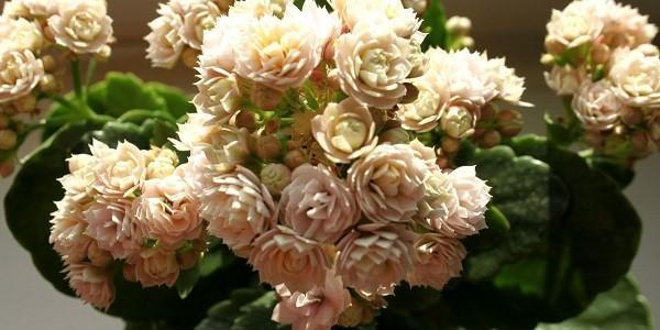 нежное цветение каланхоэ