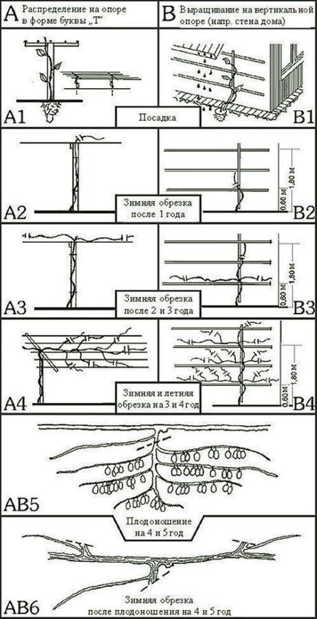 обрезка актинидии