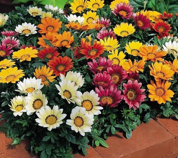 однолетние цветы для клумбы