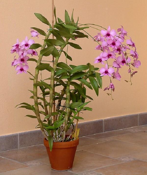 эпифитная орхидея дендробиум