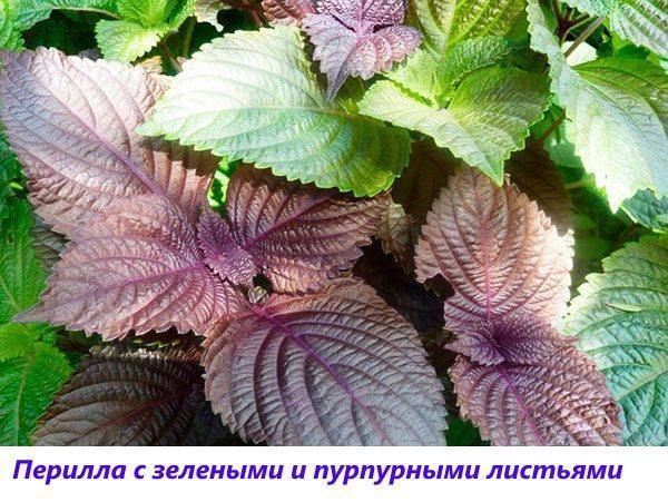 перилла с зелеными и фиолетовыми листьями