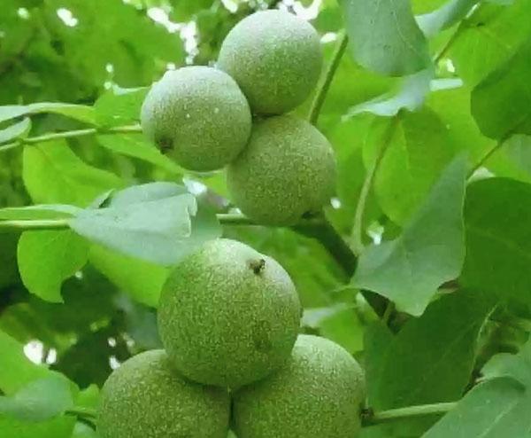 плоды грецкого ореха