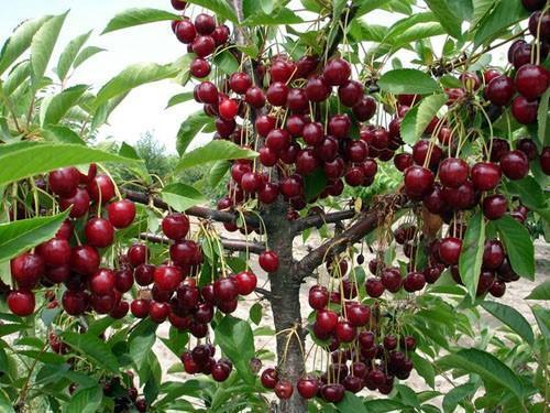 плодоносит вишня