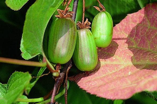 плоды актинидии доктор шимановский